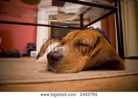 A cute beagle puppy sleeping on the floor in the living room. poster