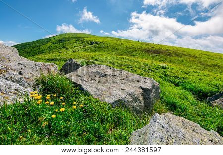 Boulder Around Dandelions On Grassy Hillside. Beautiful Summer Scenery Of Carpathian Mountains Under