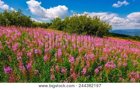 Fire Weed Meadow In Mountains. Beautiful Purple Flowers On Hillside. Wonderful Summer Weather With B