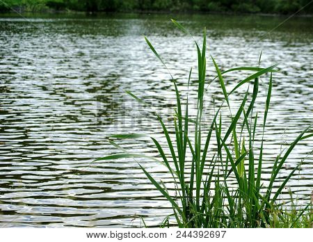 Summer. Quiet Pond. Green Leaves Of Young Reeds Are Reflected In The Dark Water.