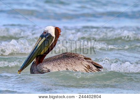 Brown Pelican Portrait Swimming In The Ocean