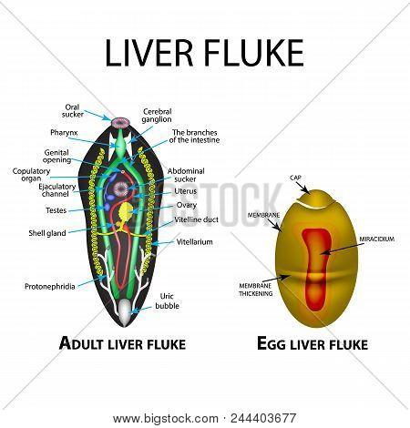 Liver Fluke Structure. Hepatic Fluke. Egg Trematodes Structure. Set. Infographics. Vector Illustrati