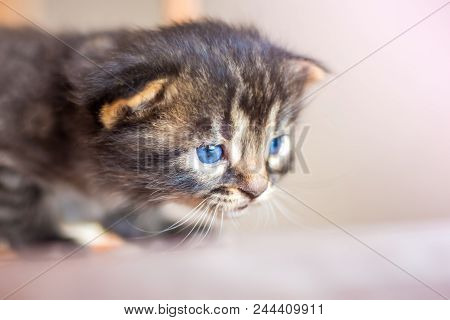 A little cute little blue kitten hides in ambush during game. Predator during hunting poster