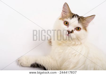 Studio Shot Of Cute Fluffy Persian Cat Lying Down The Floor Against White Background