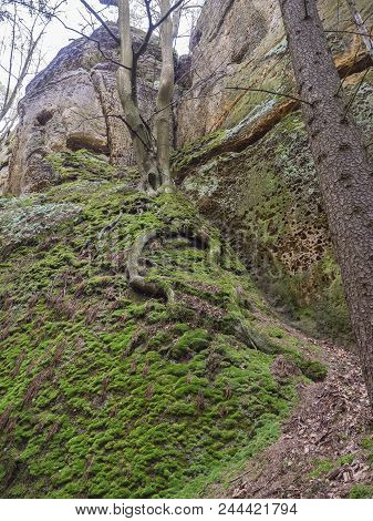 Moss Covered Stones And Sandstone Rocks With Oak Tree With Twisted Roots, Lush Green Moss , Czech Re