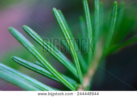 Horizontal Photo Depicting A Bright Evergreen Pine Tree Green Needles Branches. Fir-tree, Conifer, S
