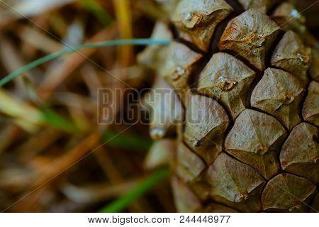 Evergreen Cone Texture Closeup. Pine Cone Macro View, Fir-tree, Conifer, Spruce Close Up, Blurred Ba