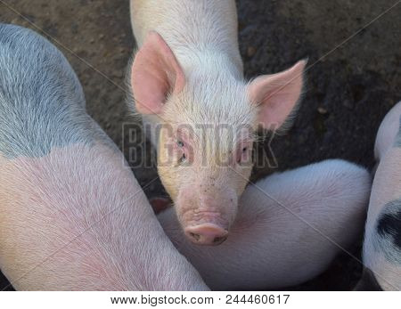 Adorable face of a pink piglet with his snout in the air. poster