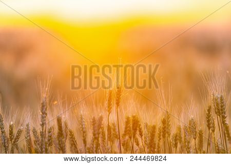 Wheat Field. Ears Of Green Wheat. Beautiful Nature Sunset Landscape. Rural Scenery Under Golden Shin