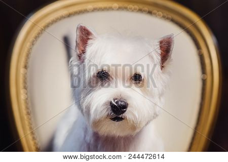 Cute West White Terrier Dog Resting On A Leather Chair. Advertising Grooming And Caring For Dogs. We