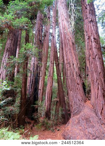 California Redwoods In Muir Woods National  Monument