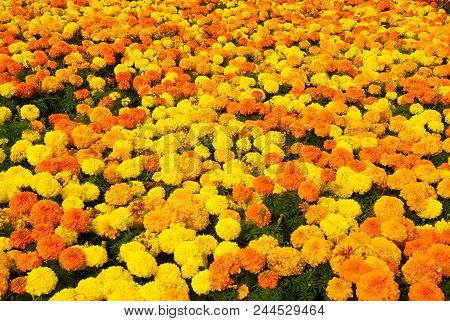 Marigold Blossom On Natural Background. Marigold Flowers In Summer Garden. Blossoming Flowers With Y