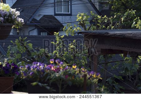 Hanging Flower Pots And Vines With Purple And Yellow Pansies On The Back Deck At Sunset In East Vanc
