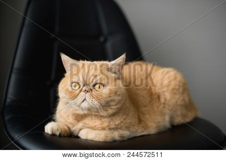 Cute Fluffy Exotic Shorthair Or Persian Cat Sitting On A Leather Chair. Closeup View