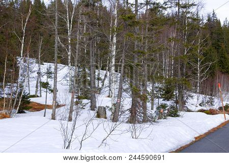 Mixed Forest In Winter - Bare Trees And Snow  Next To The Road.bare Deciduous Trees And Conifers In