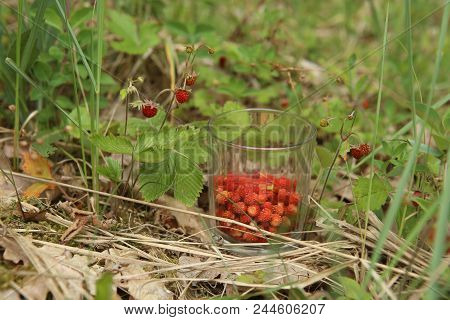 Wild Strawberries Gathered In Glass In Forest. Ripe Woodland Strawberries Harvest Gathering In Wood.