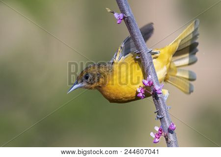 Female Baltimore Oriole (icterus Galbula) Perched In A Flowering Eastern Redbud - Ontario, Canada