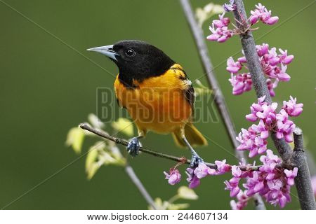 Male Baltimore Oriole (icterus Galbula) Perched In A Flowering Eastern Redbud - Ontario, Canada