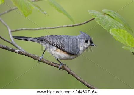 Tufted Titmouse (baeolophus Bicolor) Perched In Witch Hazel - Grand Bend, Ontario, Canada