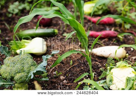 Various Organic Vegetables In A Corn Field Are Lying On The Ground