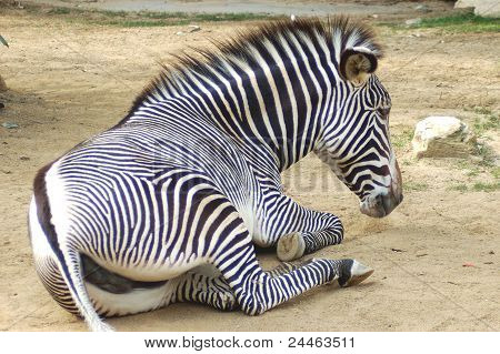 Zebra on a brake.