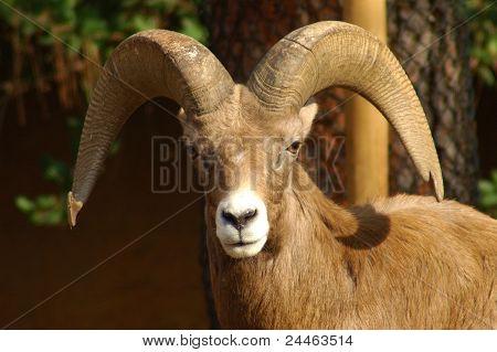 The powerful Ram.