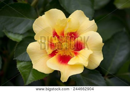 Yellow Red Colored Rose Closeup - Natural Green Environment In Background