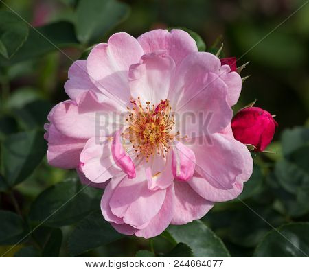 Pink Pastel Colored Rose Closeup - Natural Green Environment In Background