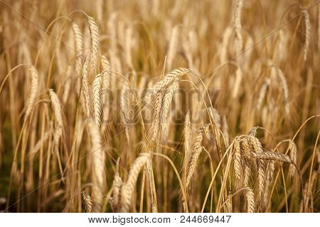 Good Harvest. Wheat Spikelets, Cereal Grain, Seeds, Agriculture. Field Of Golden Wheat, Ripe, Harves