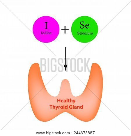 Selenium And Iodine Are Necessary For The Normal Functioning Of The Thyroid Gland. Infographics. Vec