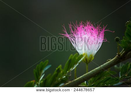 A Persian Silk Tree Flower Blooming On The Plant