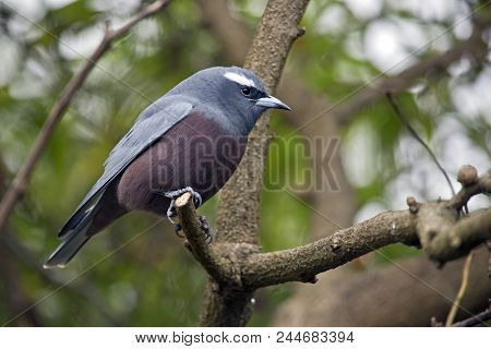 This Is A Sde View Of A White Browed Wood Swallow