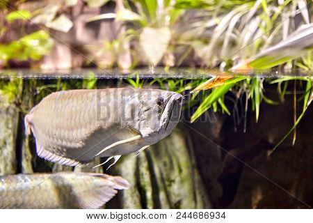 Exotic Tropical Freshwater Fish Silver Arowana  In Natural Ecosystem.