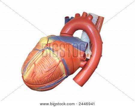 Anatomic Model Of The Human Heart
