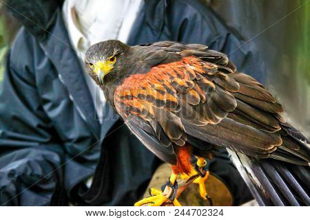 A Pet Harris Hawk Used In The Sport Of Falconry, Which Is The Hunting Of Wild Animals In Its Natural