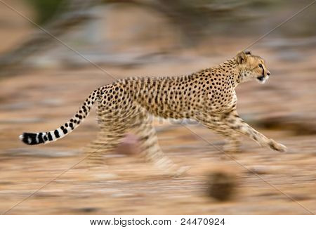 Laufenden Cheetah