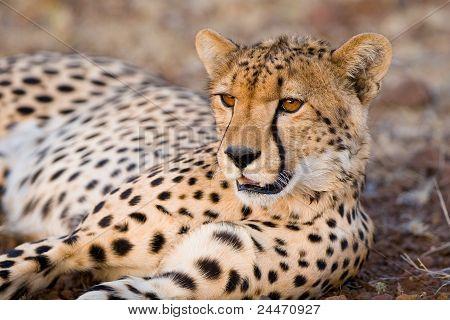 Ruhelosigkeit Cheetah