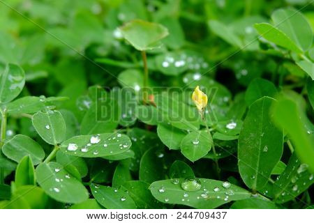The Little Yellow Flowers And Droplet On The Leaves.