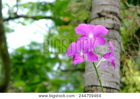 Purple Flowers Of Orchids And Tree Backdrop, Plantae Orchidaceae