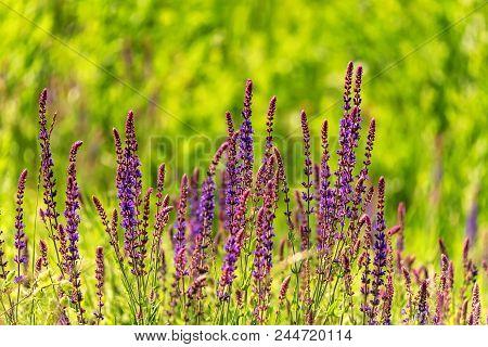 Fresh Purple Flowers Of Sage Or Salvia Divinorum On Meadow