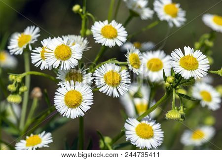 Chamomile Small Medicinal Flowers In The Daisy Family On Blured Background