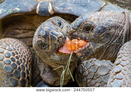 Giant Tortoises Feeding