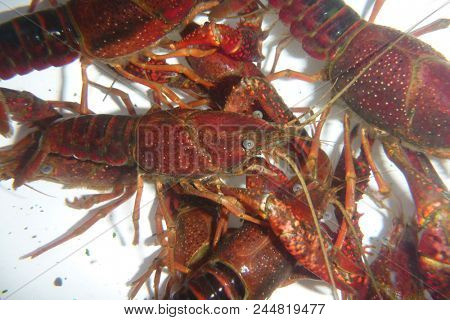 crawfish, nature and wildlife photo