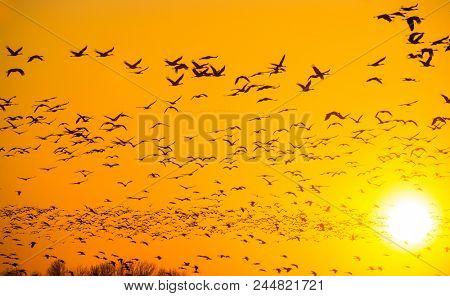 Spring migrating sandhill cranes moving through Nebraska