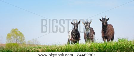 Three young goats standing on a green meadow and looking to a camera on clear blue sky background