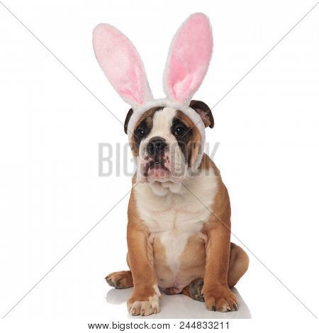 curious english bulldog dressed as easter bunny looks to side while sitting on white background