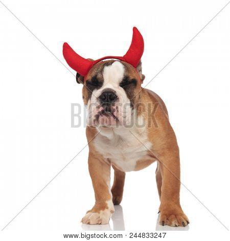 funny english bulldog devil sleeps while standing on white background