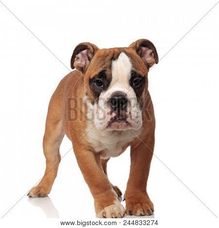 adorable brown english bulldog walking on white background