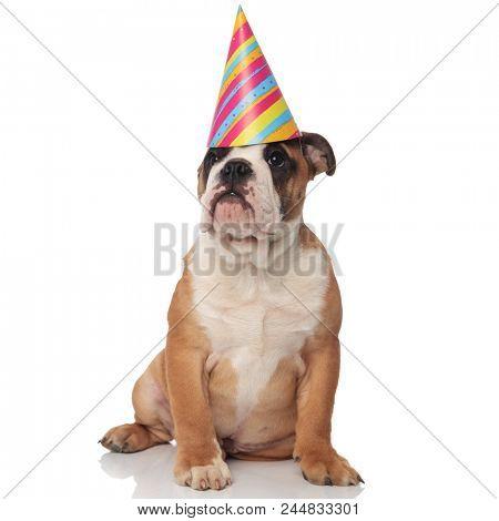 funny seated english bulldog looks at its birthday cake on white background