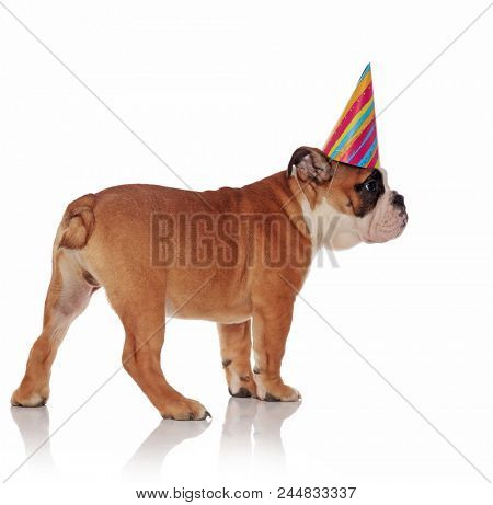 side view of adorable birthday english bulldog looking to side on white background while standing